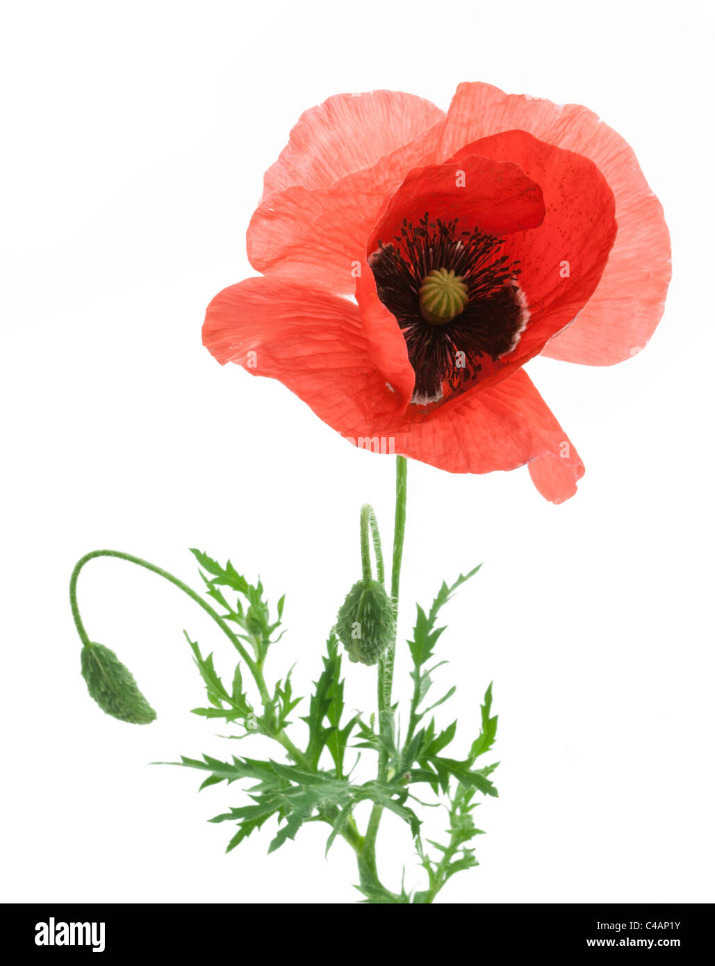 One beautiful red poppy isolated on a white background. - Stock Image