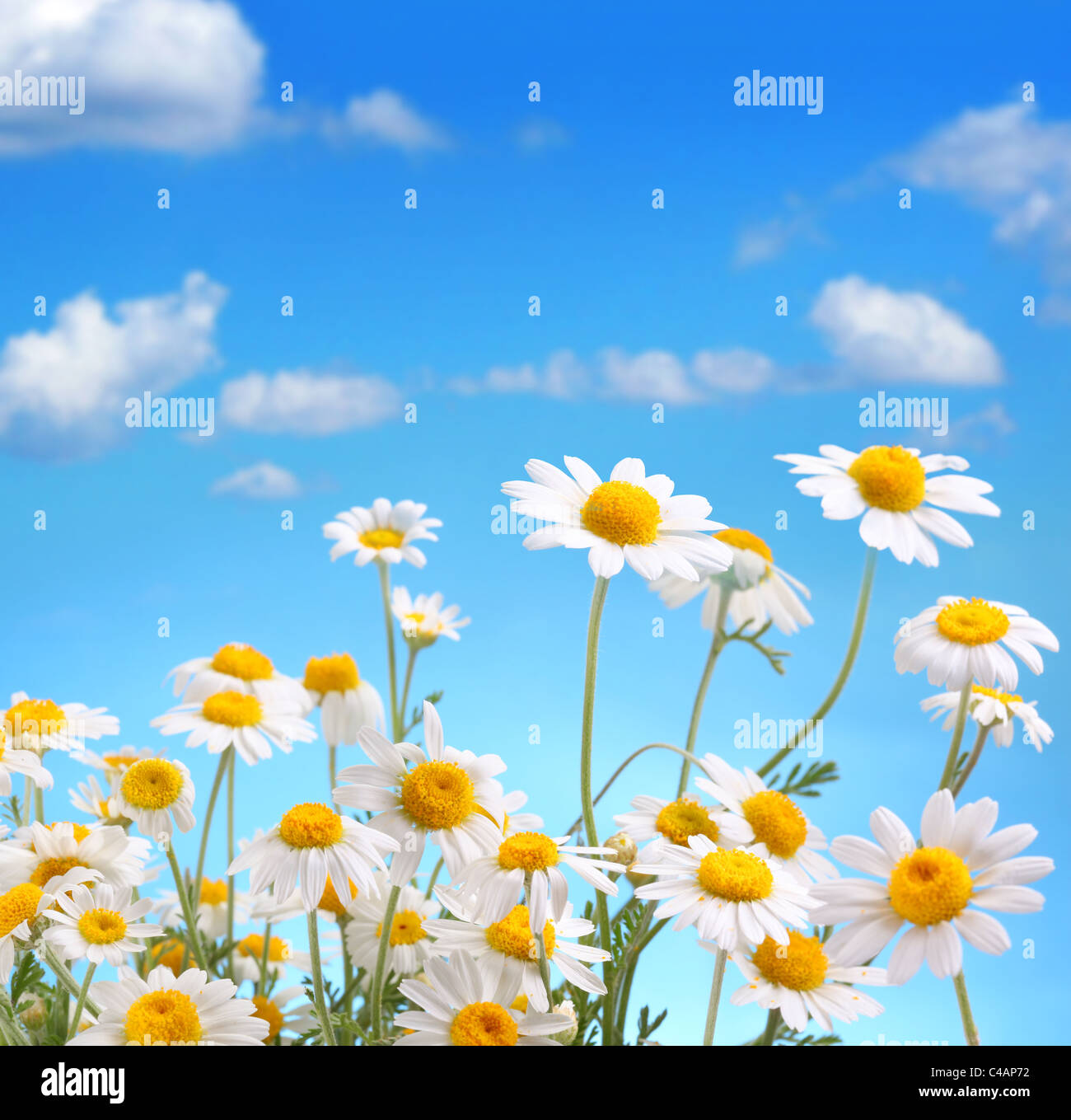 Daisy bouquet on blue sky background Stock Photo