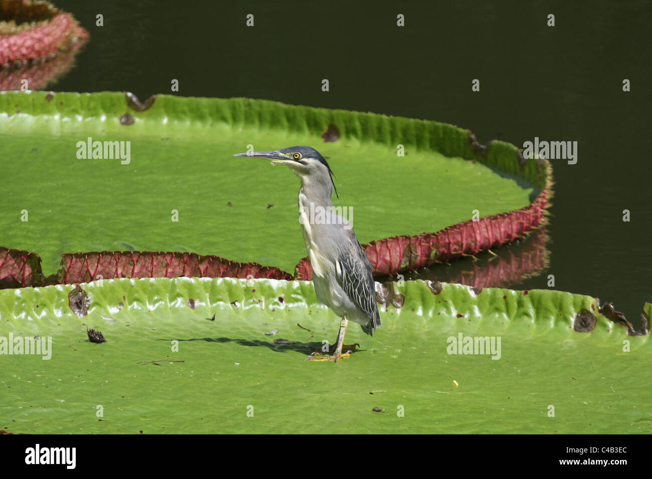 Heron in Mauritius - Stock Image