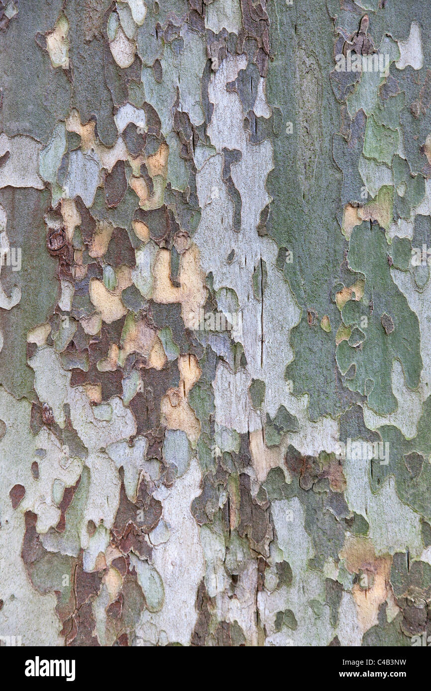 Platan tree bark texture or background. - Stock Image