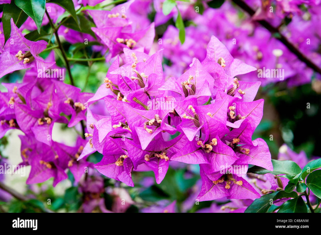 Close up shot of some Bougainvillea flowers - Stock Image