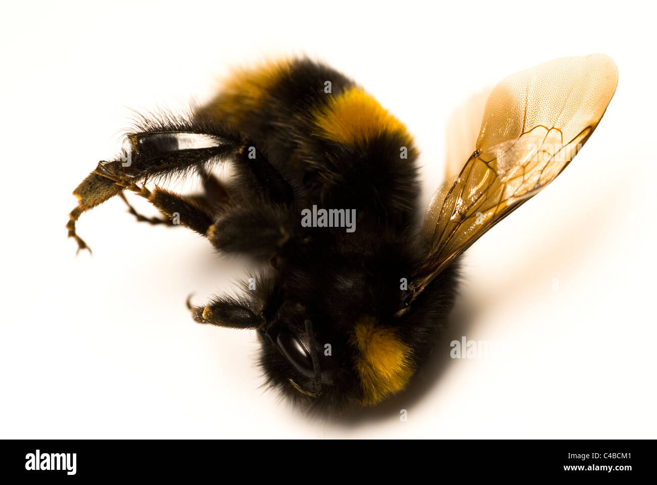 Dead bumble bee isolated on a white background - Stock Image
