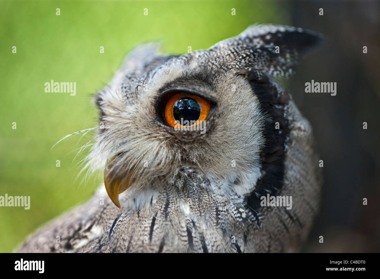A portrait of a White-faced Scops-Owl, a species of small owl with ear tufts that are raised when the bird is disturbed. - Stock Image