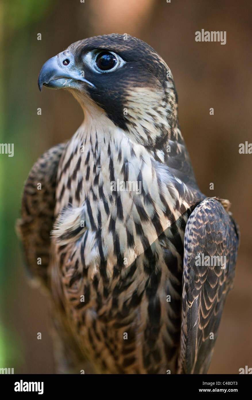A Lanner Falcon, a common large falcon of the East African region. Nairobi, Kenya - Stock Image