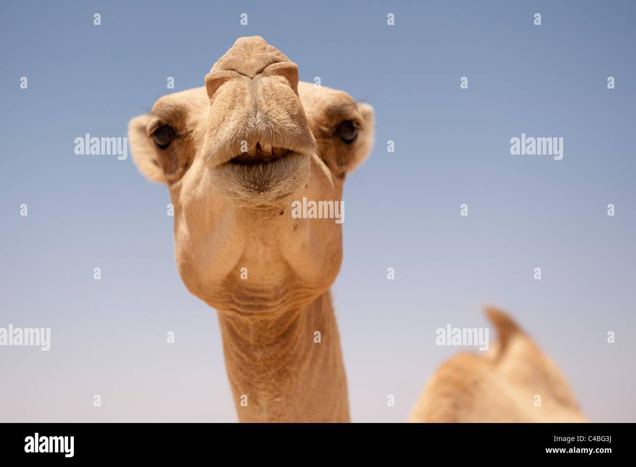 Camel, Somaliland, Somalia - Stock Image