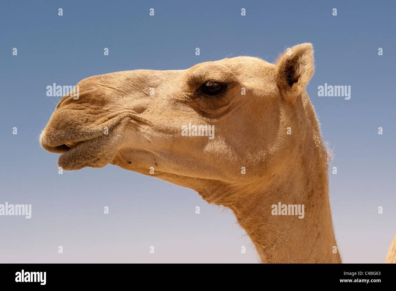 Camel, Somaliland, Somalia Stock Photo