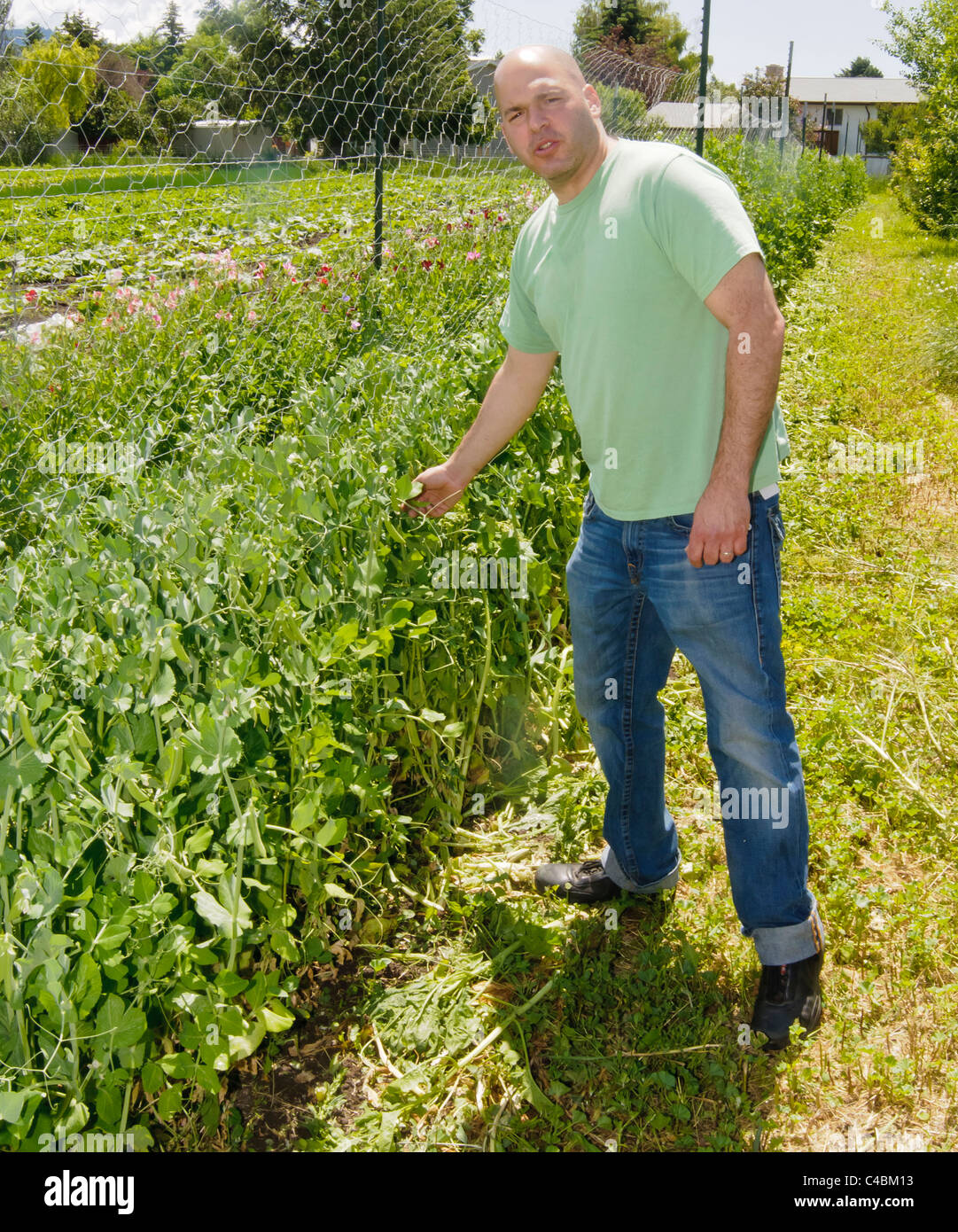 Local restauranteur checks the peas at an organic farm in Missoula, Montana. His pizzas are made with locally grown - Stock Image
