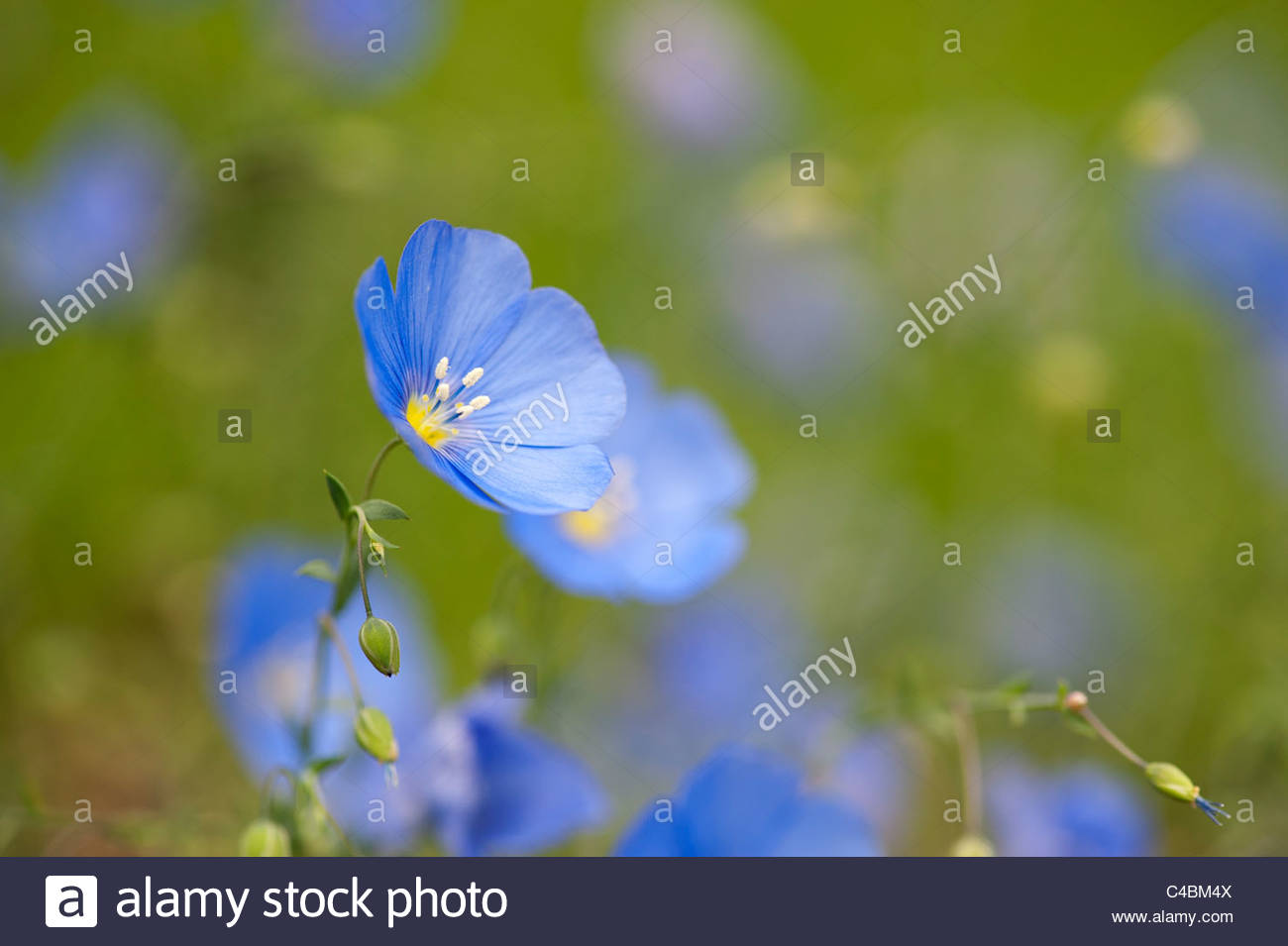 Linum Perenne, Blue Flax flowers - Stock Image