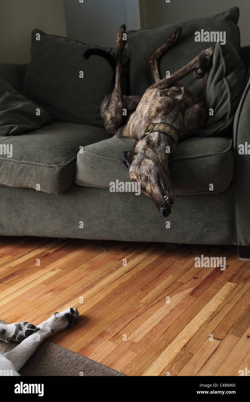 A greyhound dog sleeping on his back on a couch. - Stock Image