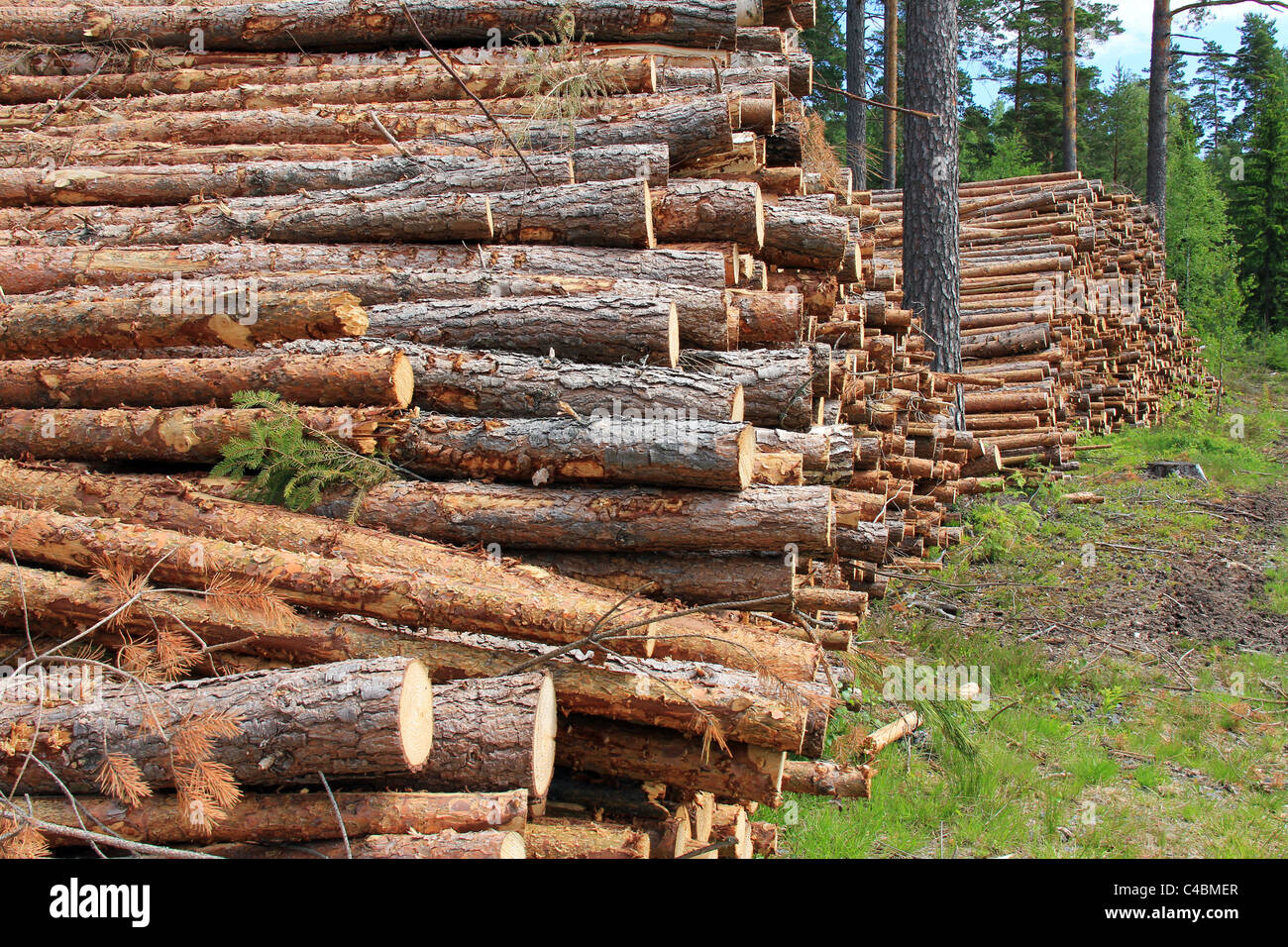 Two stacks of cut softwood in pine forest - Stock Image