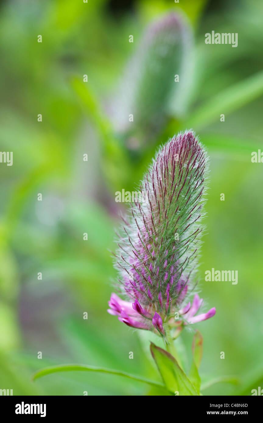 Trifolium rubens. Nobel clover. Ornamental red clover plant before the flowers emerge - Stock Image