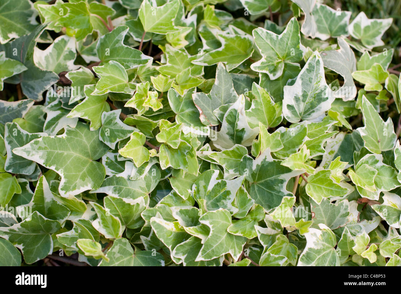 Background of variegated ivy - Stock Image
