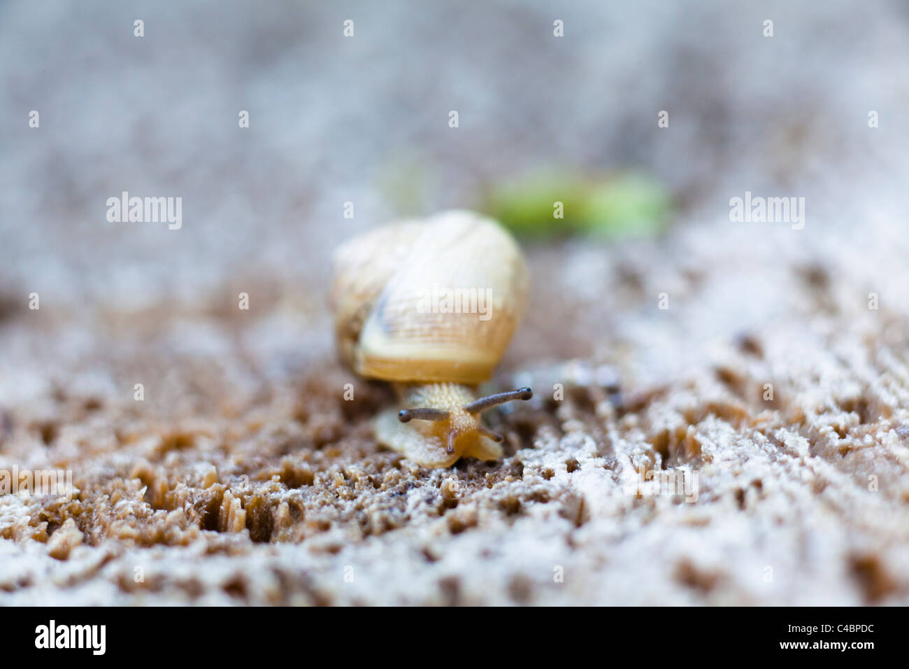 snail crawling on a wooden surface - Stock Image