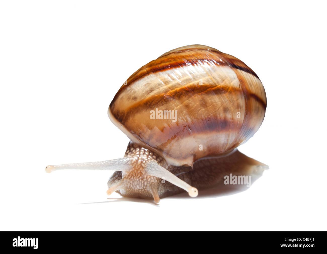 snail on white background - Stock Image