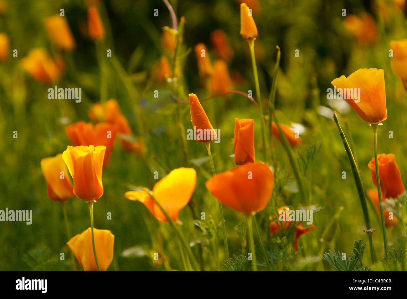 Yellow and orange poppy flowers growing idyllically in a meadow of the botanical garden in Leipzig, Germany. - Stock Image