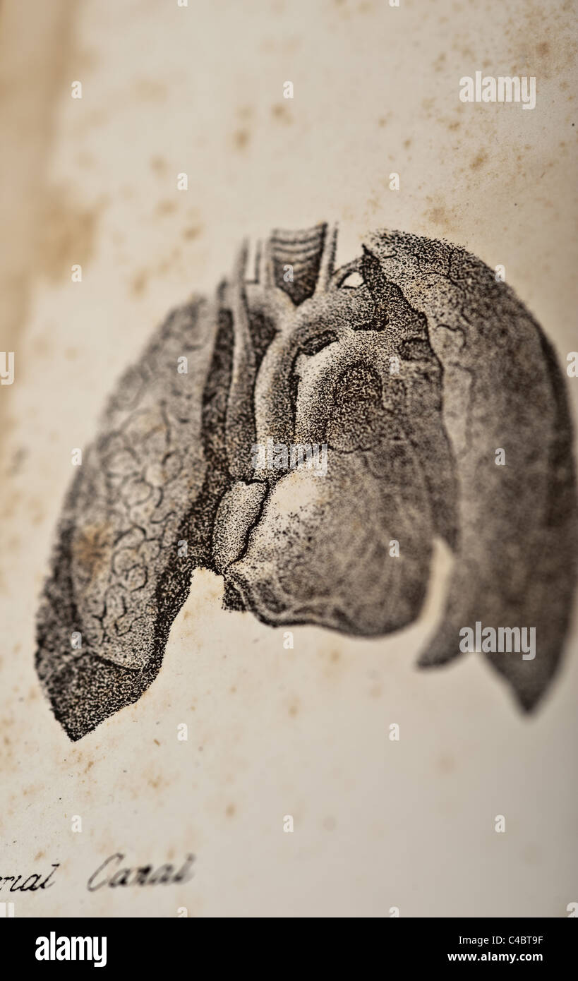 Antique Medical Illustration of Heart and Lungs, copyright 1844 - Stock Image
