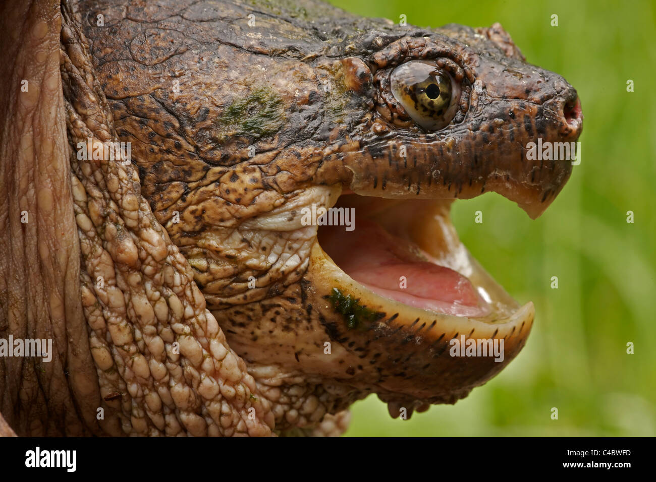 Snapping Turtle (Chelydra serpentina) - New York - Male - Found in Eastern US and Southeastern Canada to Rocky Mountains Stock Photo