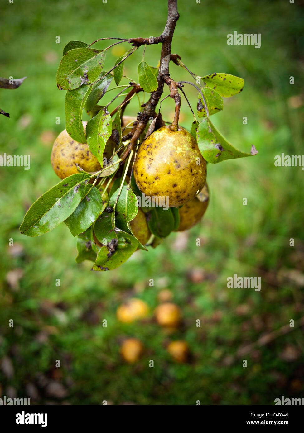 Organically grown pears on tree Stock Photo