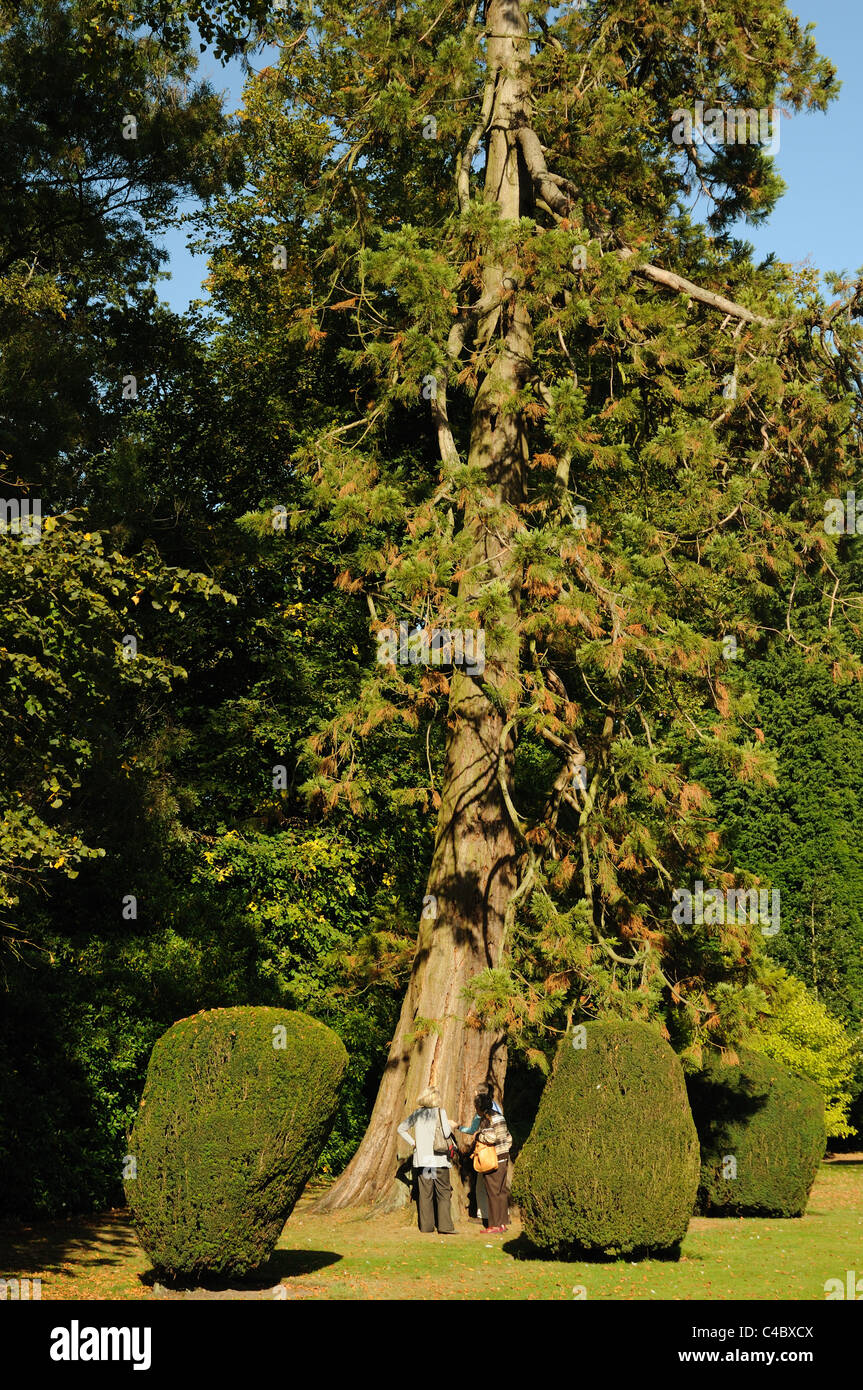 Two women standing at the base of a large fir tree in the grounds of Burton Agnes Hall, East Yorkshire, England Stock Photo