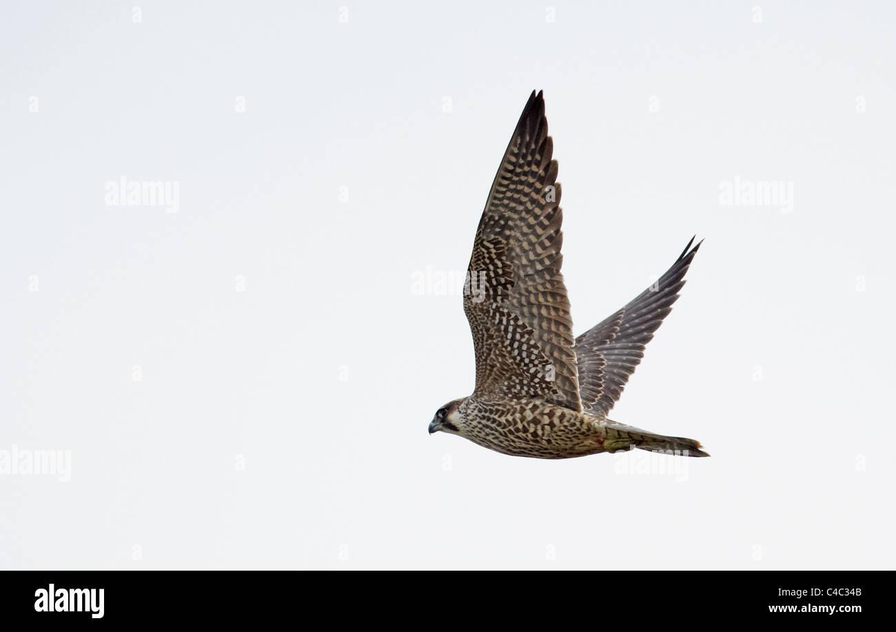 Peregrine Falcon (Falco peregrinus), juvenile in flight. - Stock Image
