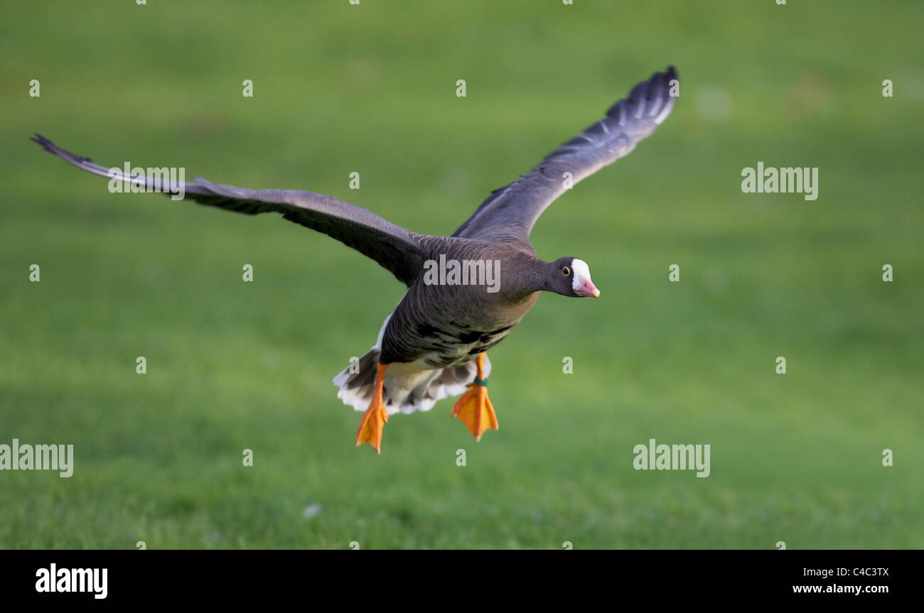 Lesser White-fronted Goose (Anser erythropus) in landing approach. - Stock Image