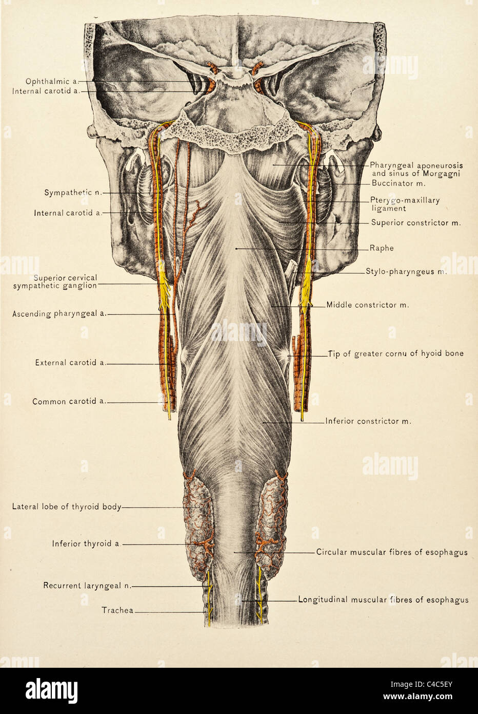 Trachea And Esophagus Stock Photos Trachea And Esophagus Stock