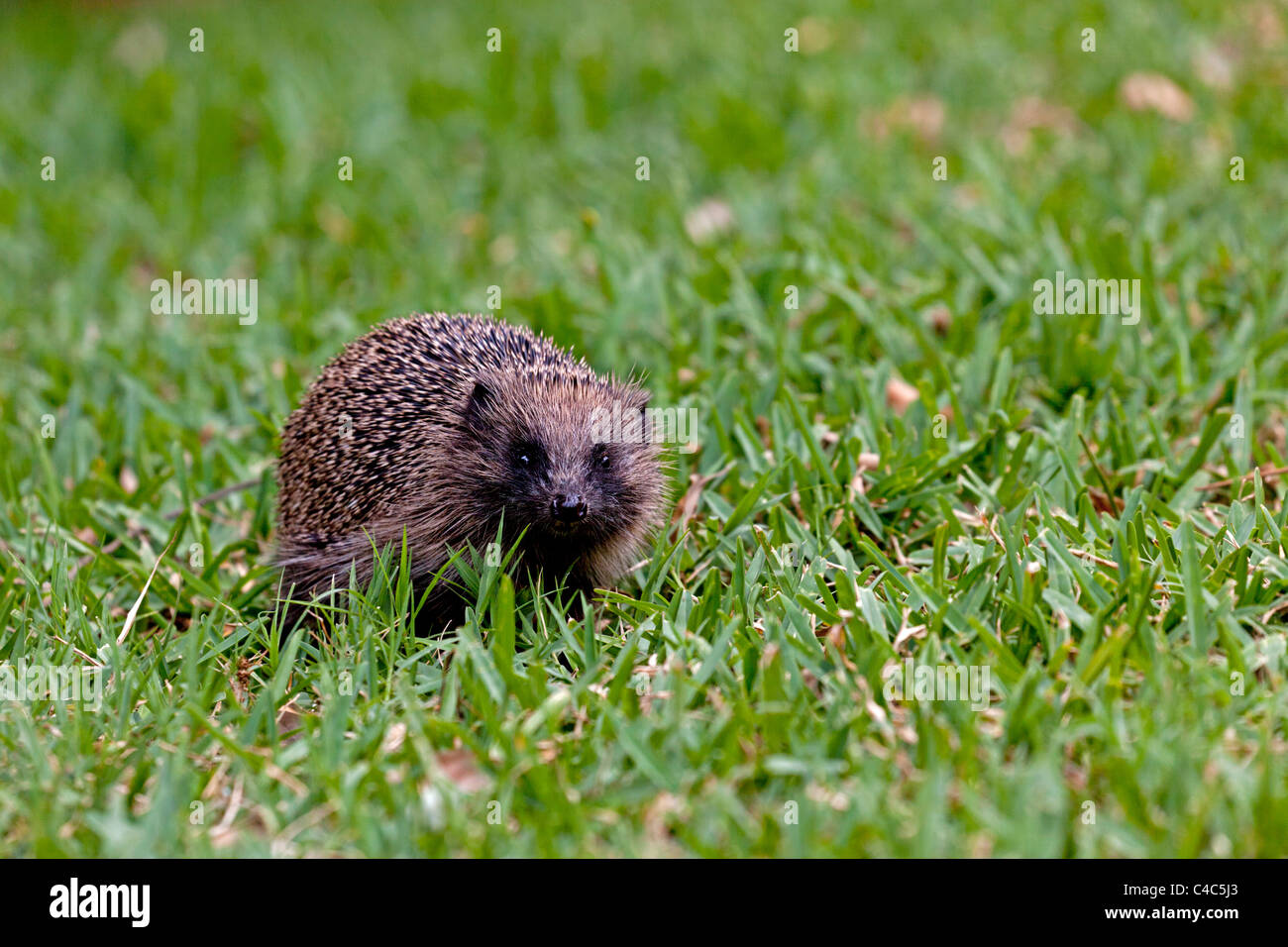 An adult hedgehog foraging on the field (Aquitaine - France). Hérisson adulte cherchant sa nourriture sur une pelouse Stock Photo