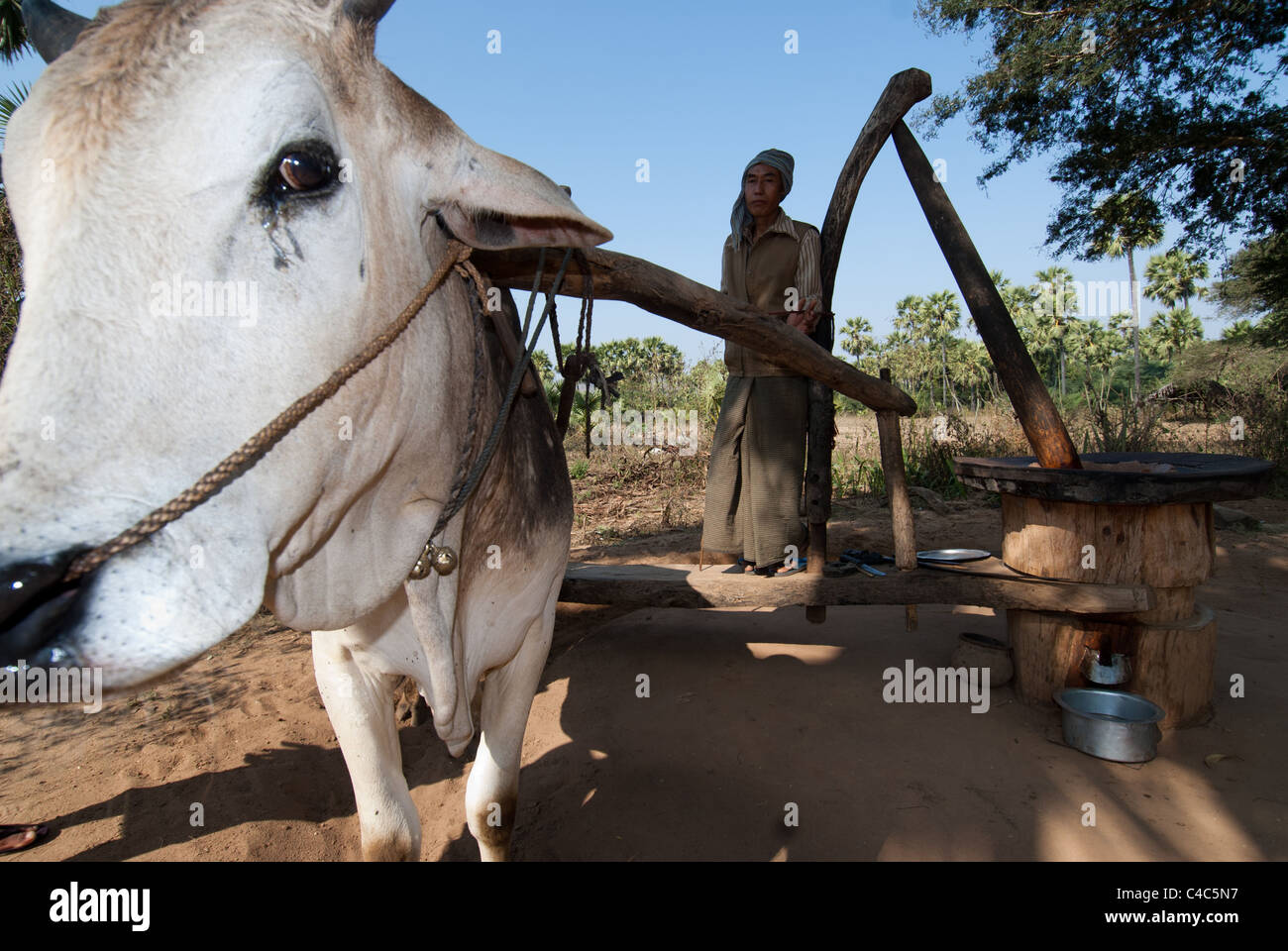 Man driving an ox at a simple grain mill where oil is extracted, Bagan plains, Myanmar - Stock Image