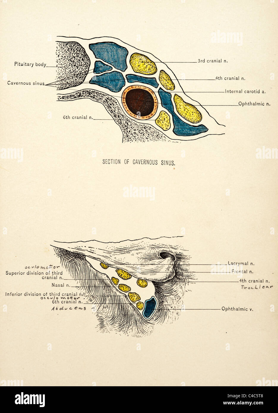 Surgical Anatomy of the Head and Neck by John B. Deaver copyright ...