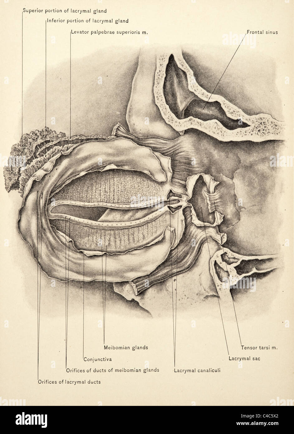Surgical Anatomy Of The Head And Neck By John B Deaver Copyright