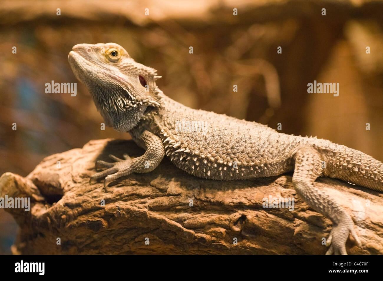 Bearded Dragon Gender Identification