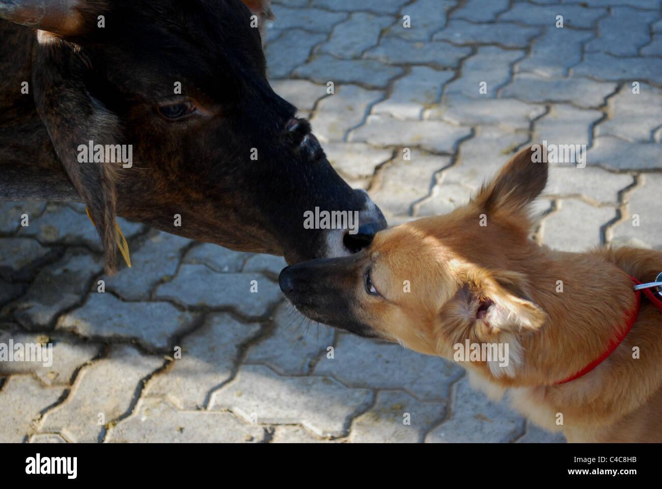 a cow meet dog - Stock Image