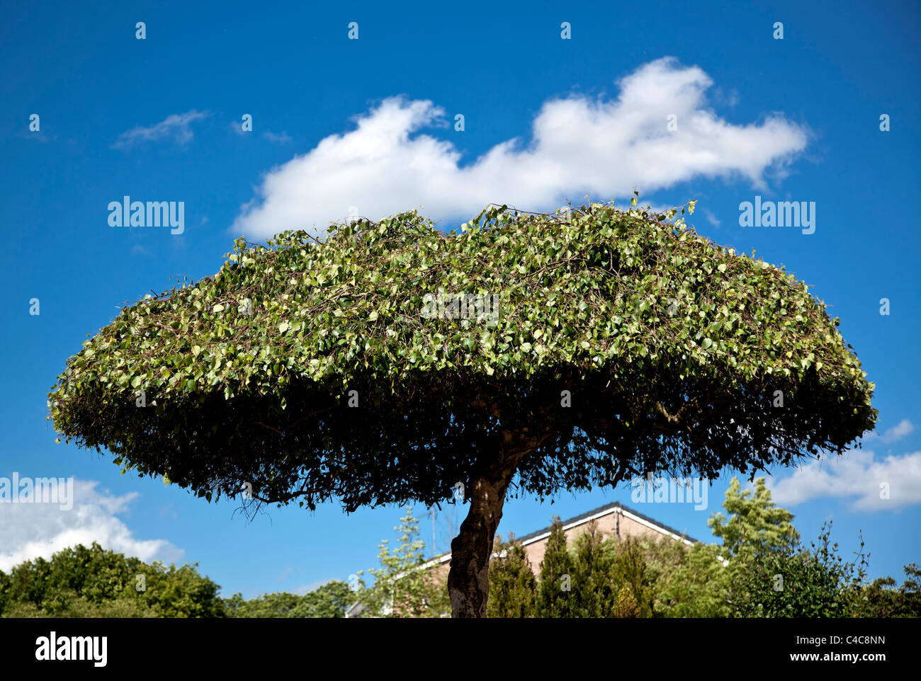 A neatly trimmed tree in an English garden against a blue sky. - Stock Image