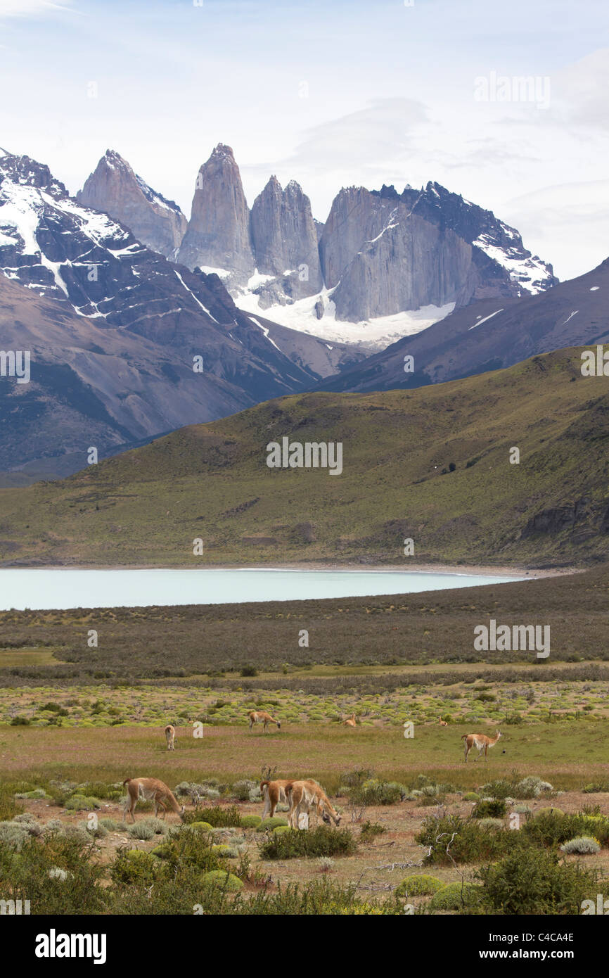 Guanacos, Torres del Paine National Park, Chile - Stock Image