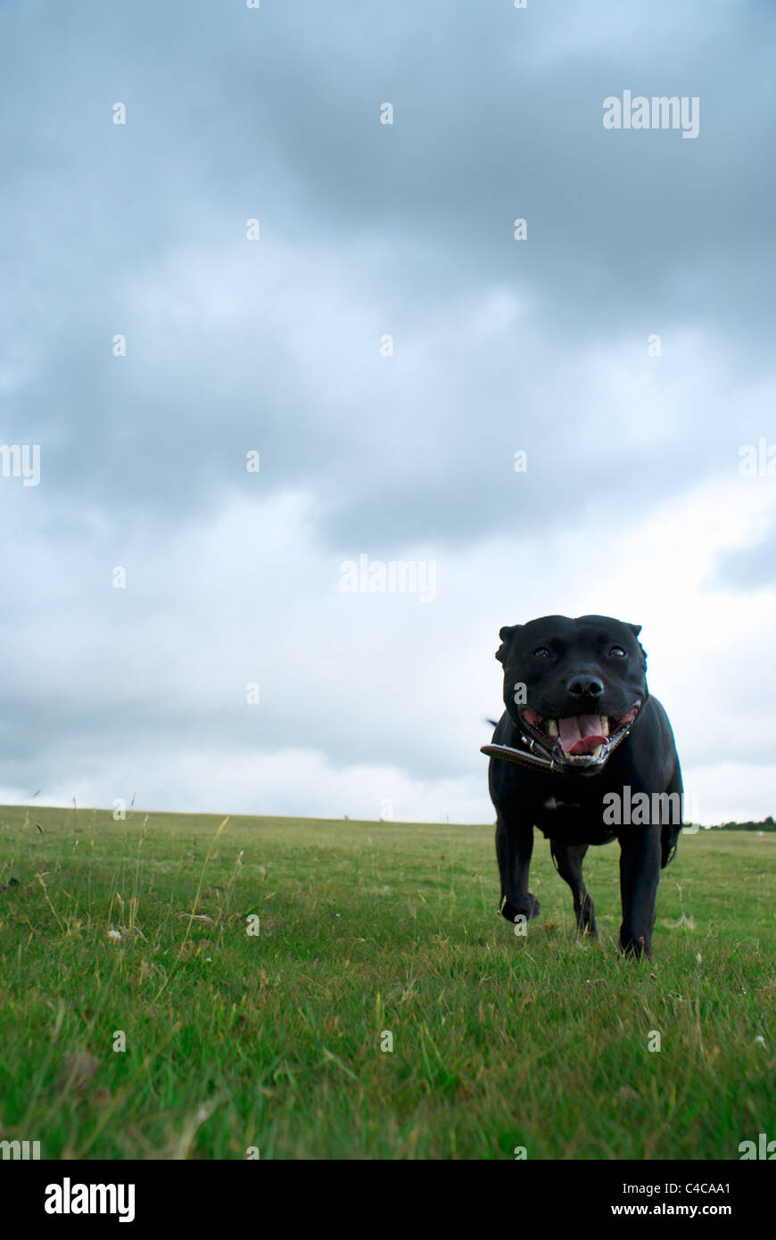 Staffie running on moor land - Stock Image