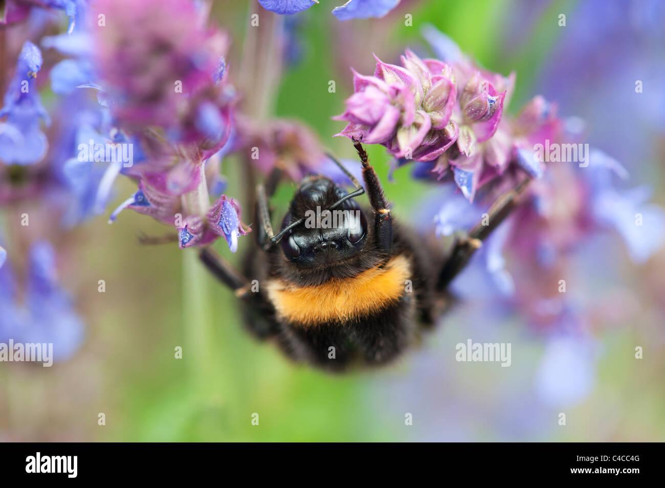 Bombus Lucorum. Bumble bee on a Salvia flower in an english garden Stock Photo