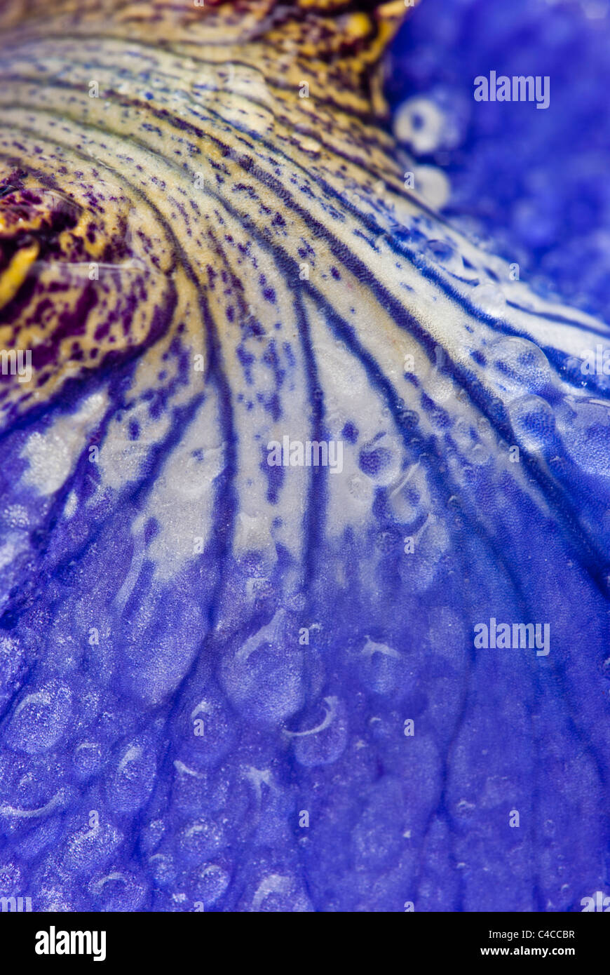 Close up of a blue water Iris (Iris sibirica) petal and water droplets. A pond marginal or bog garden plant. - Stock Image