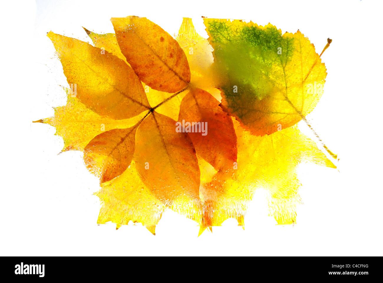 frozen leaf - Stock Image