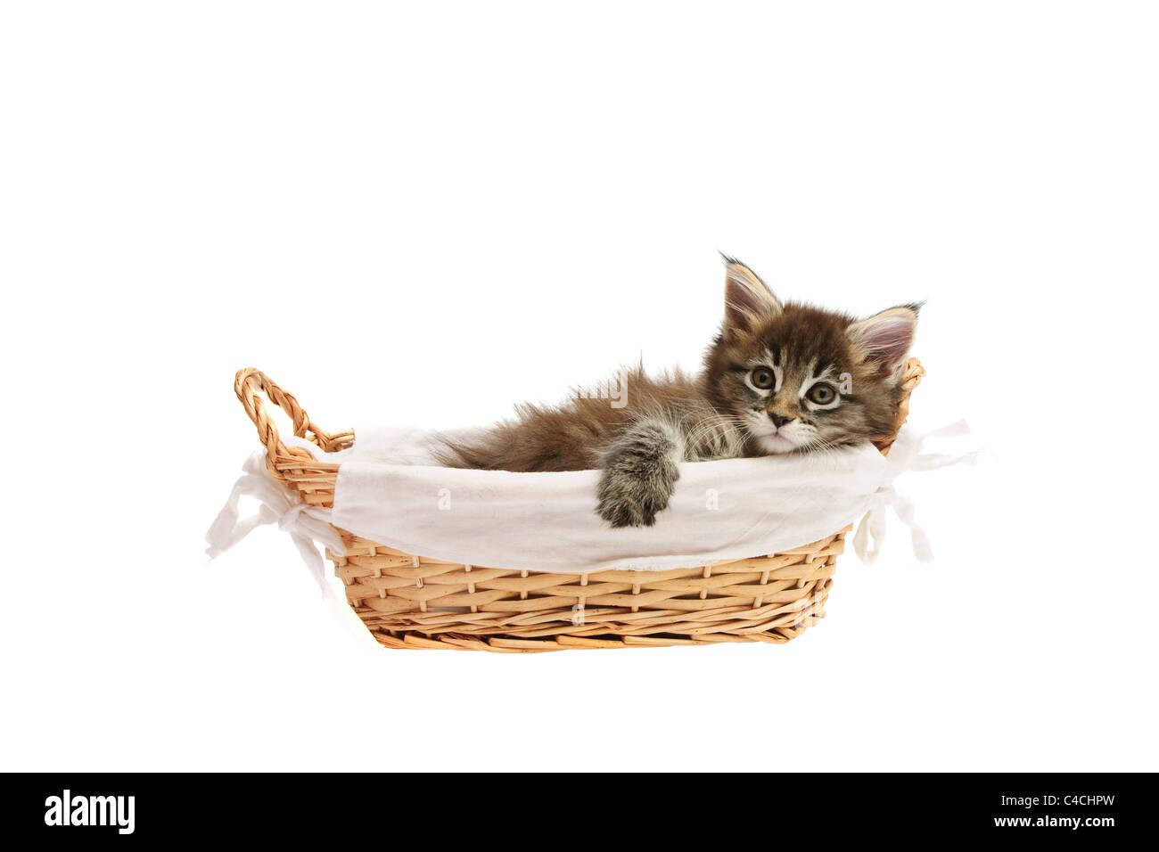 Small kitten in basket isoalted on white background - Stock Image