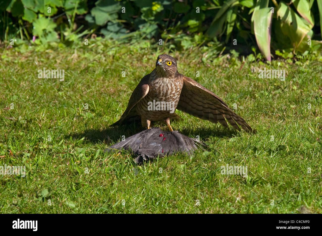 Sparrowhawk on baby starling bird in garden after kill ...