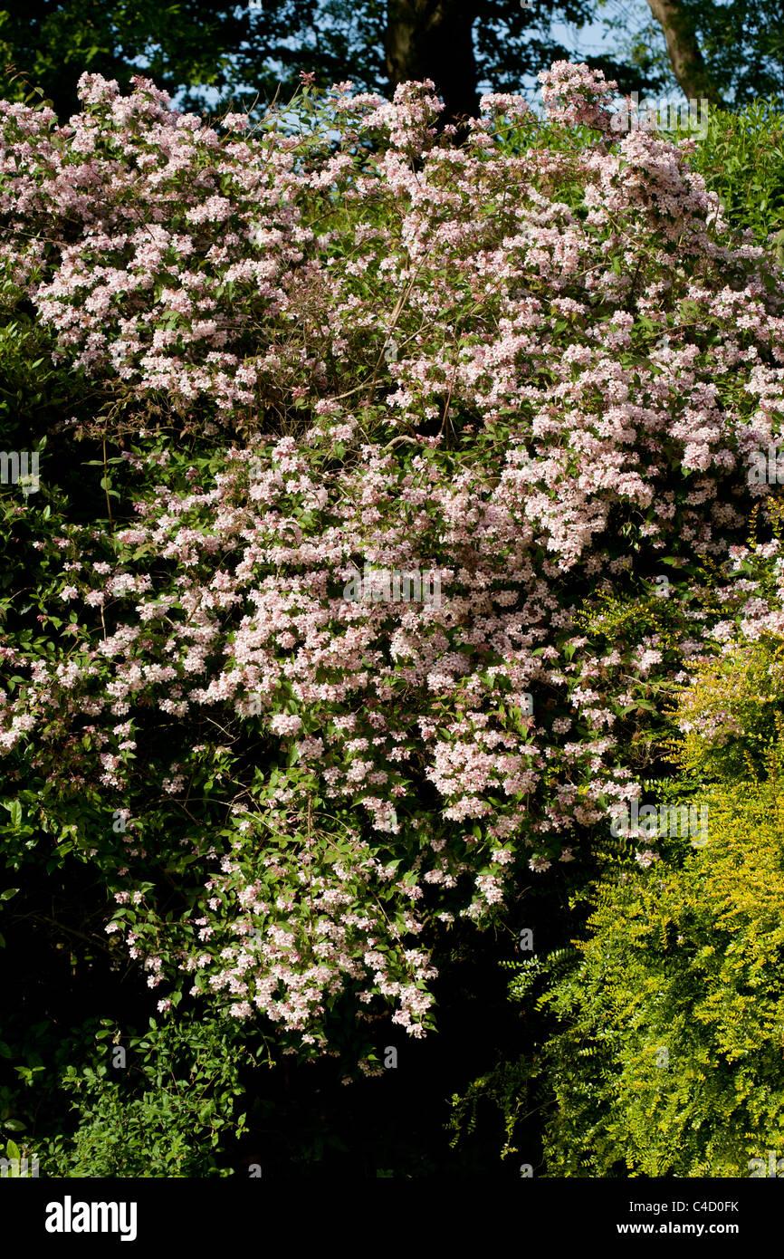 Garden shrub flowering in May - Stock Image