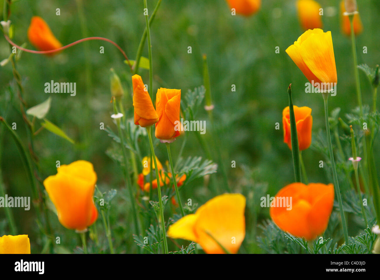 Yellow and orange poppy flowers growing idyllically in a meadow of the botanical garden in Leipzig, Germany - Stock Image