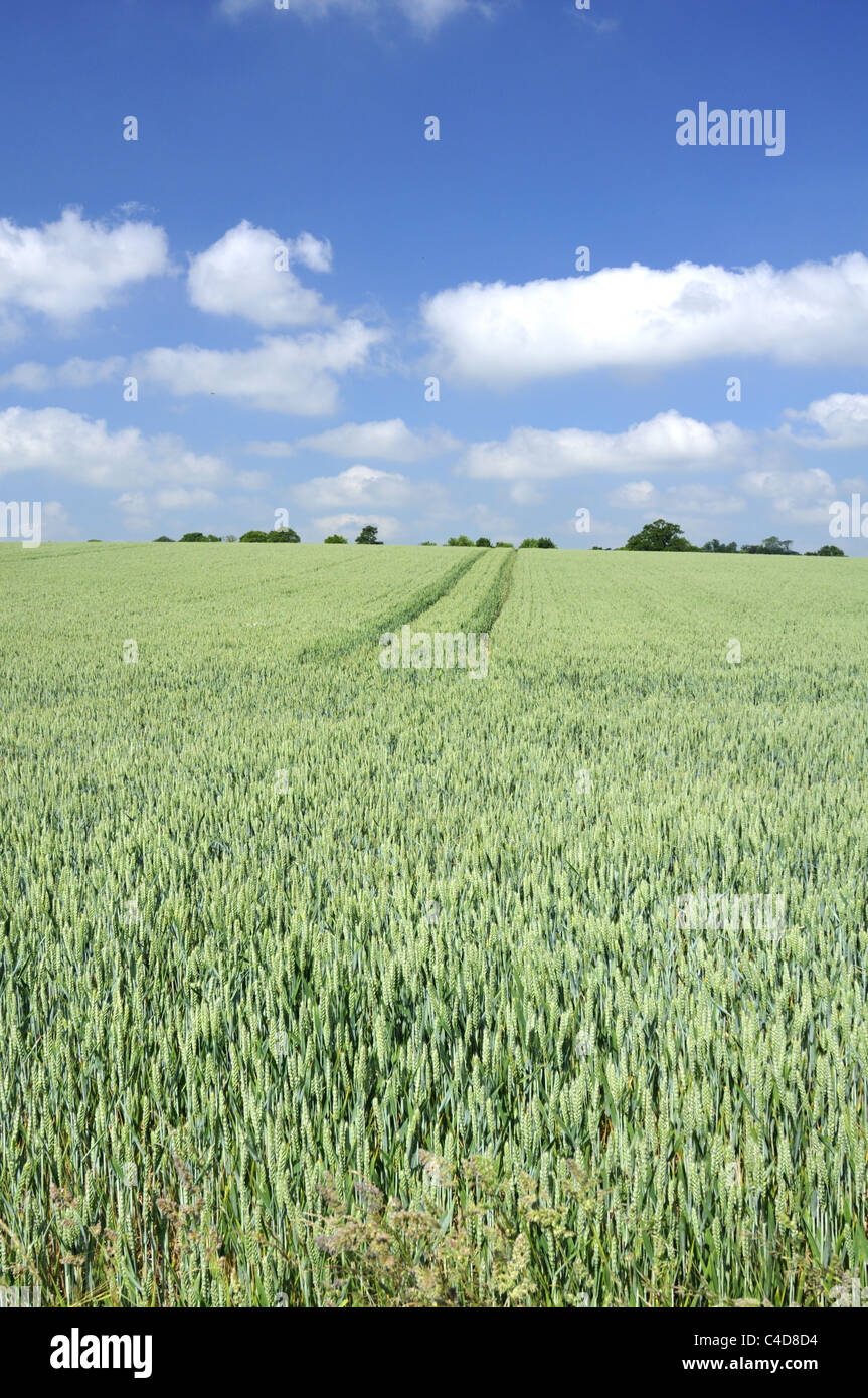 Wheat field in the English countryside. - Stock Image
