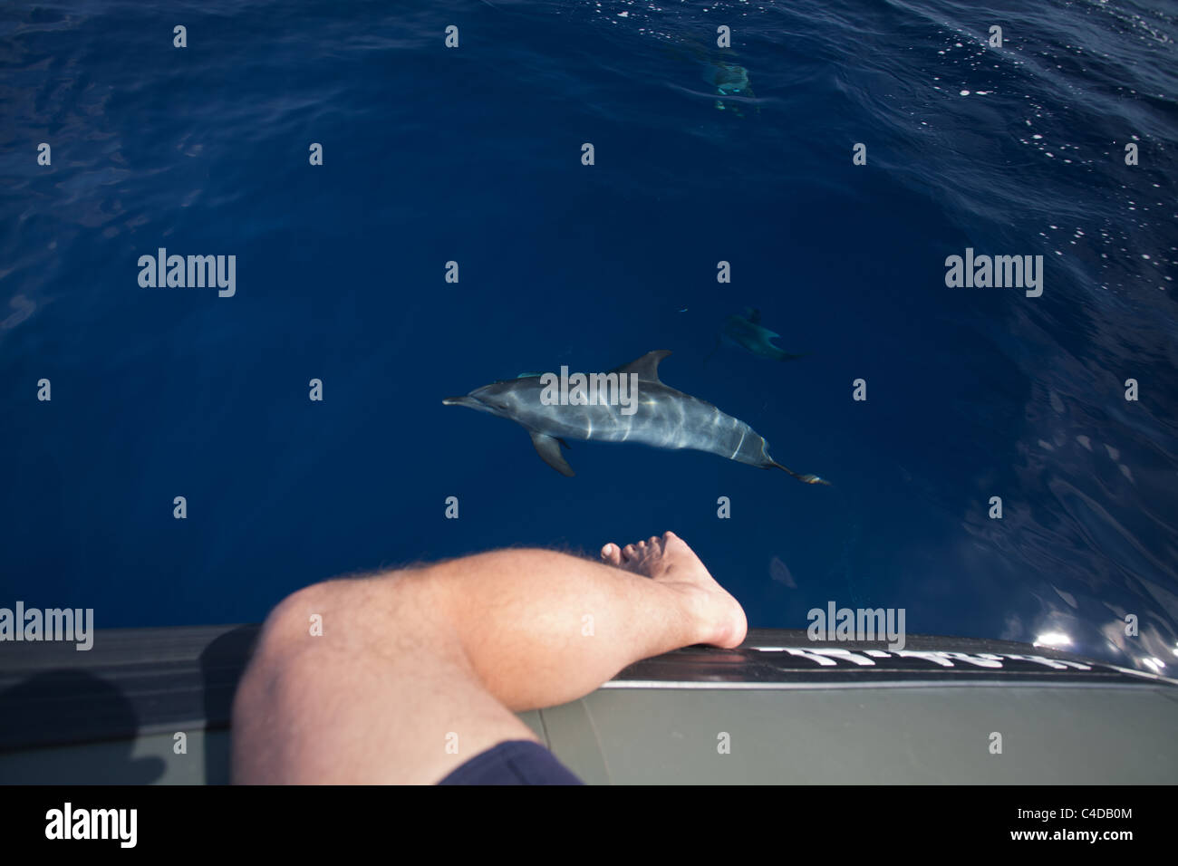 An atlantic spotted dolphin (Stenella frontalis) watches a man with his leg dangling over a boat, off Pico island, - Stock Image