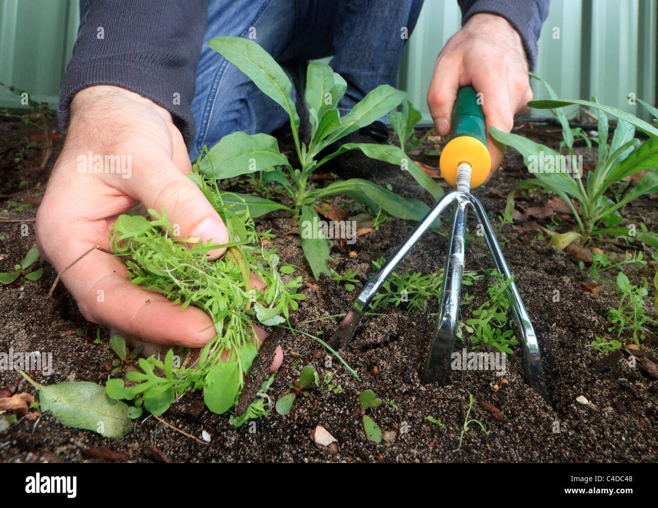 Pulling up weeds with a weeding fork - Stock Image
