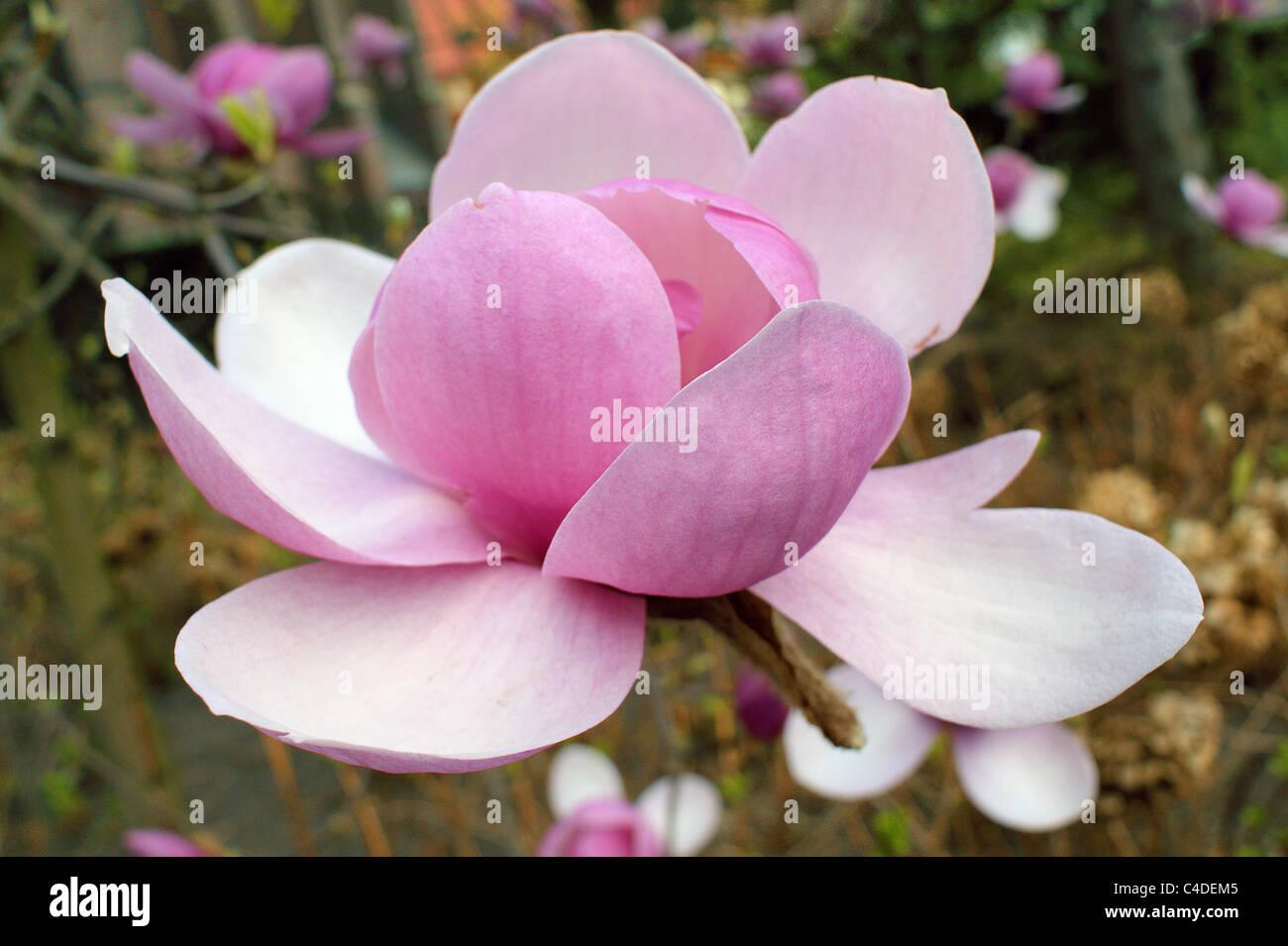 Magnolia Flower Close Up Stock Photos Magnolia Flower Close Up