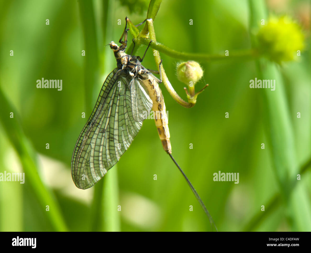 Burrowing Mayfly (Ephemera danica), France - Stock Image