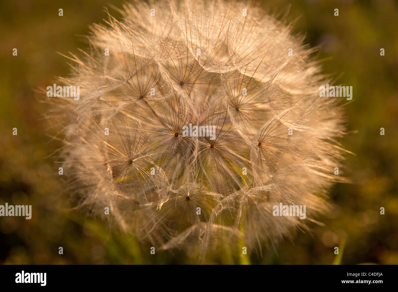 Dandelion in the Plain of Thessaly, Greece - Stock Image
