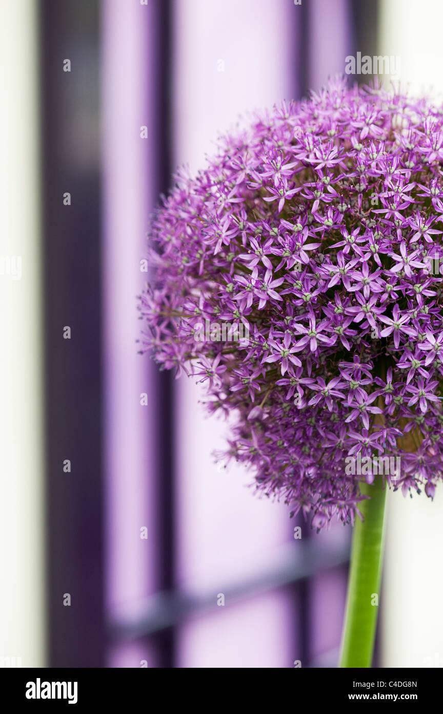 Allium ambassador flower in front of a purple door. Ornamental Onion Stock Photo