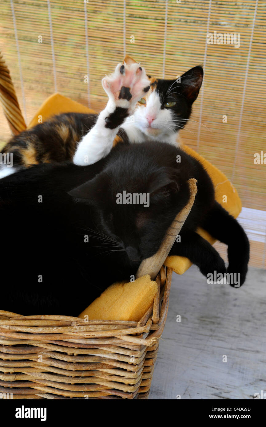 2 cats in wicker basket one sleeping and the second stretching front leg - Stock Image